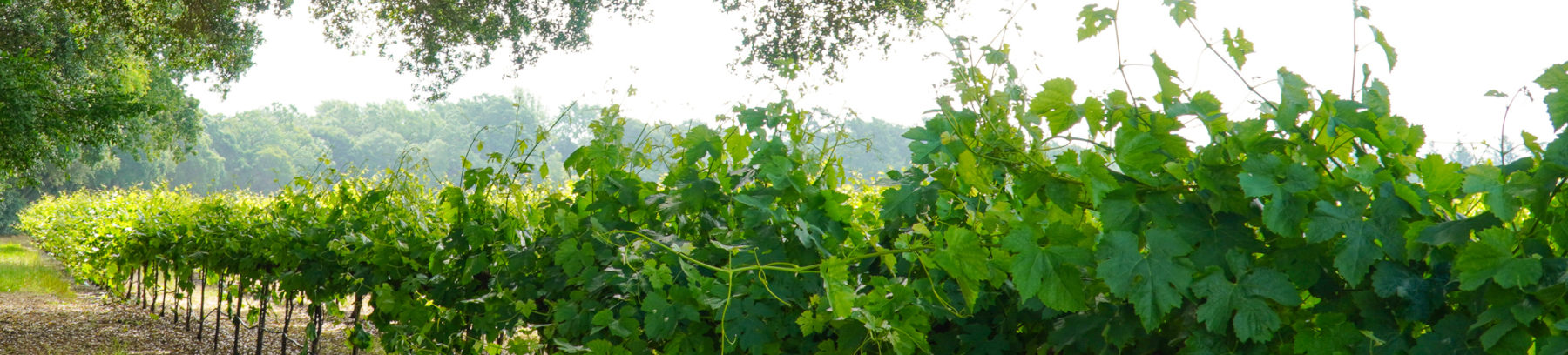 Beautiful vineyard near where many of our landscape contractors work.